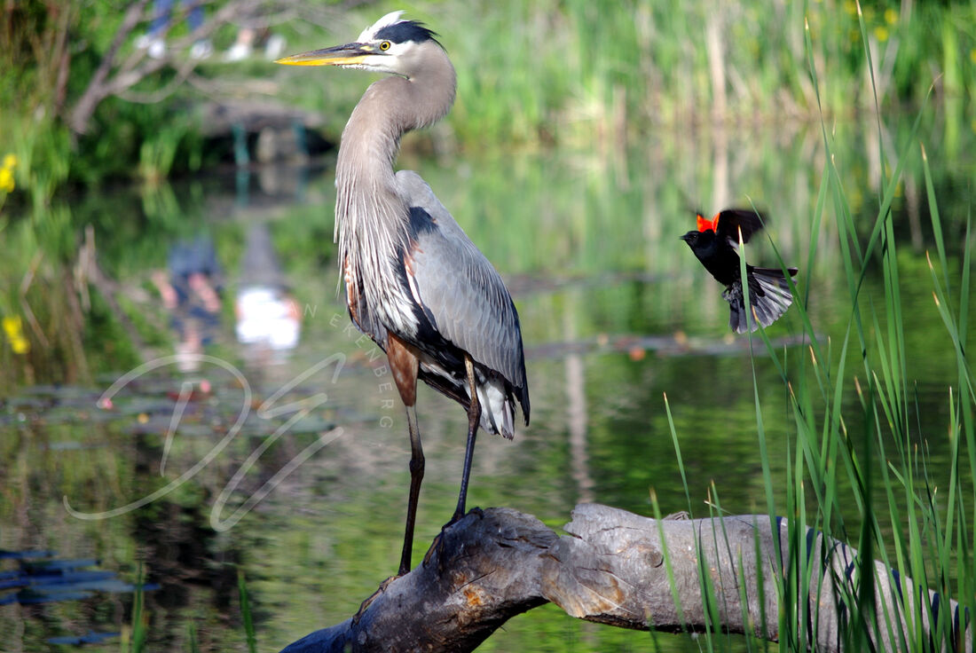 Blue Heron and Redwinged Blackbird together in same photo